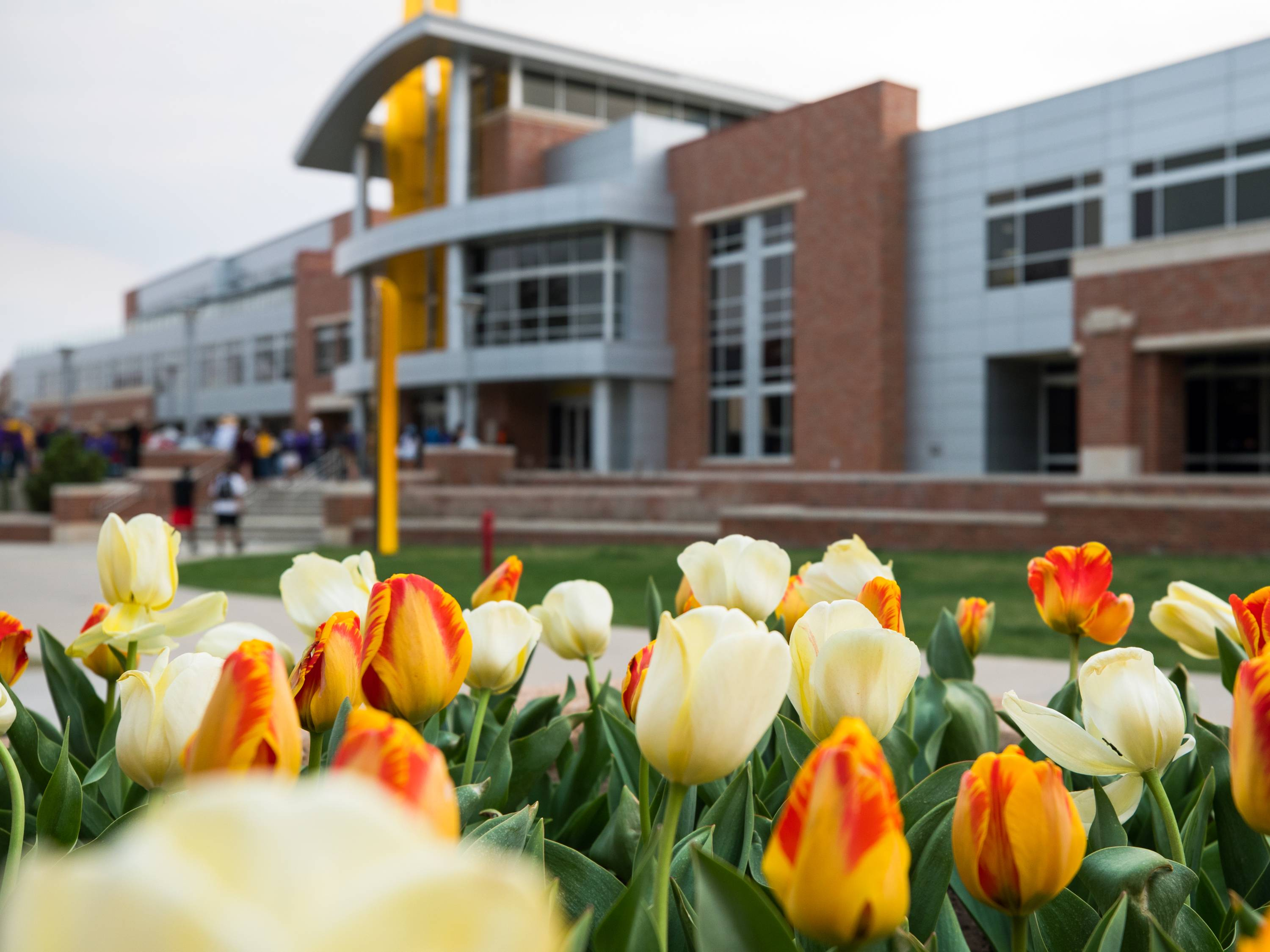 Tulips grow at the east entrance of the Rhatigan Student Center