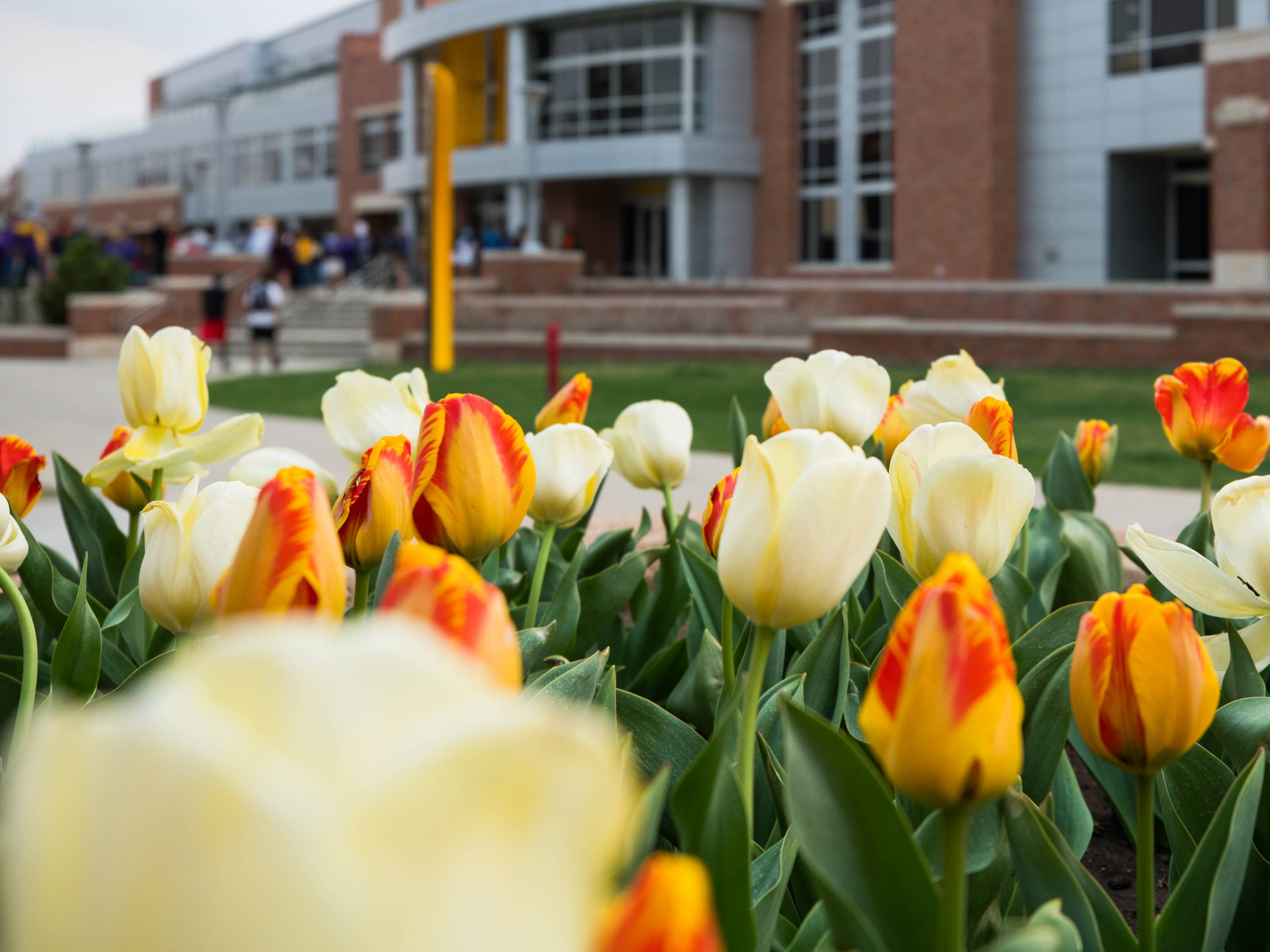 Tulips in front of the Rhatigan Student Center.