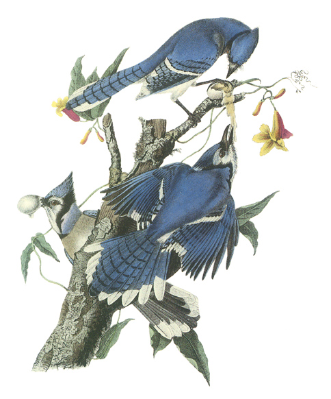 Illustration of three bluejays on a tree limb.