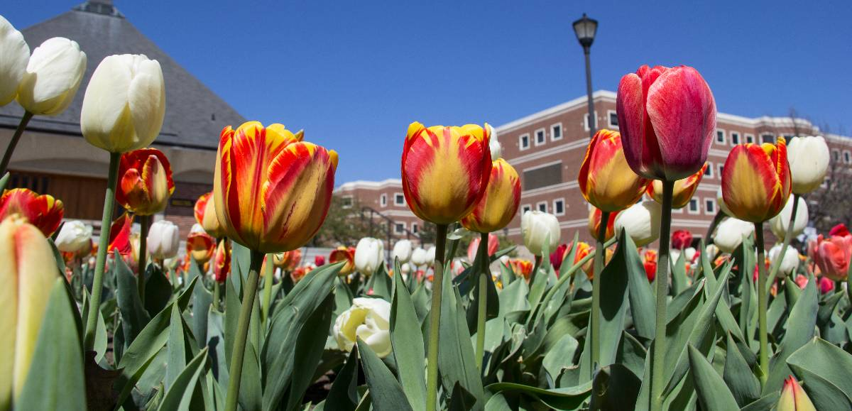 tulips outside Jabara Hall