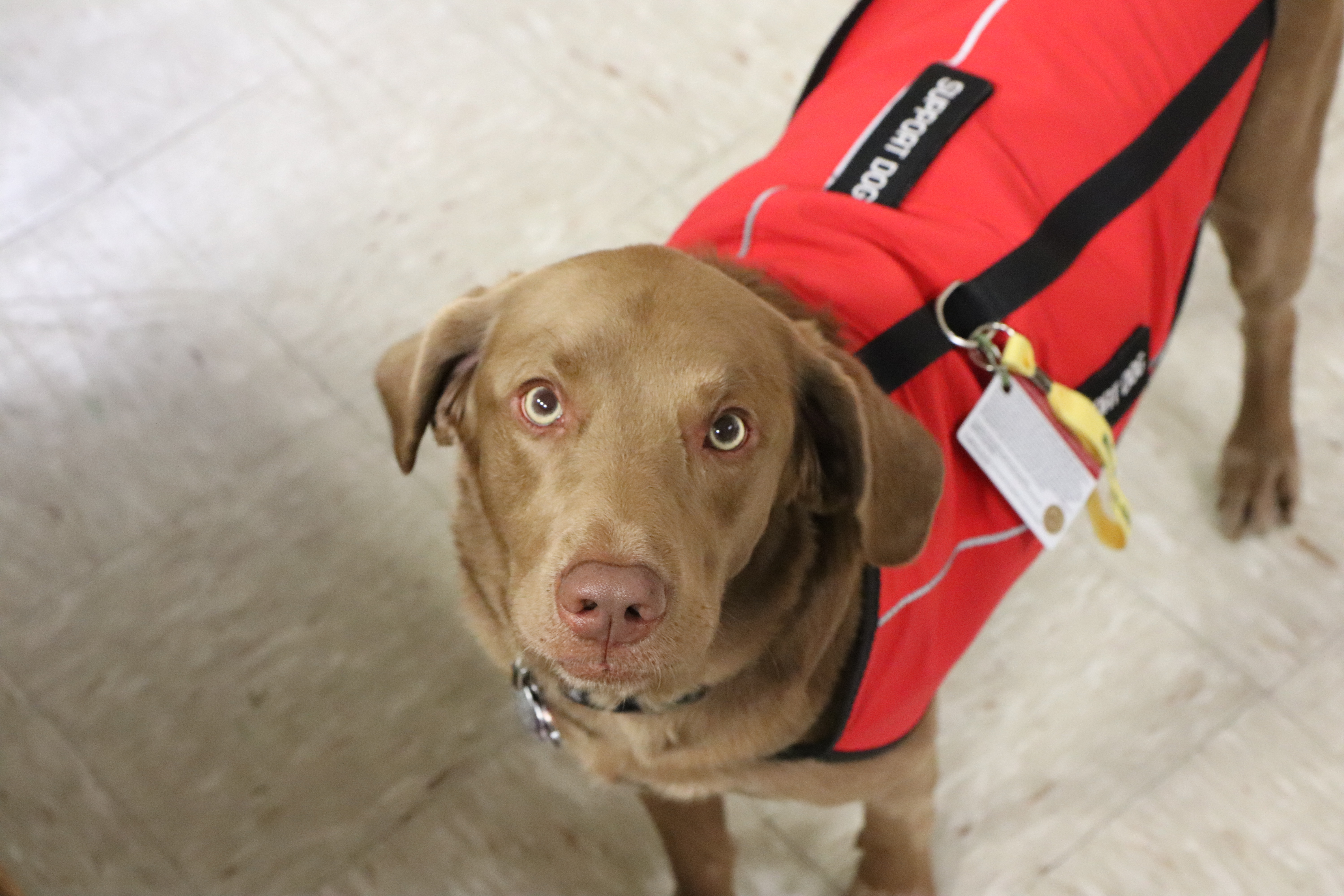 Image of Toby! He is looking up at the camera with his ears perked and his red support dog vest on! He is very cute and his fur is soft!